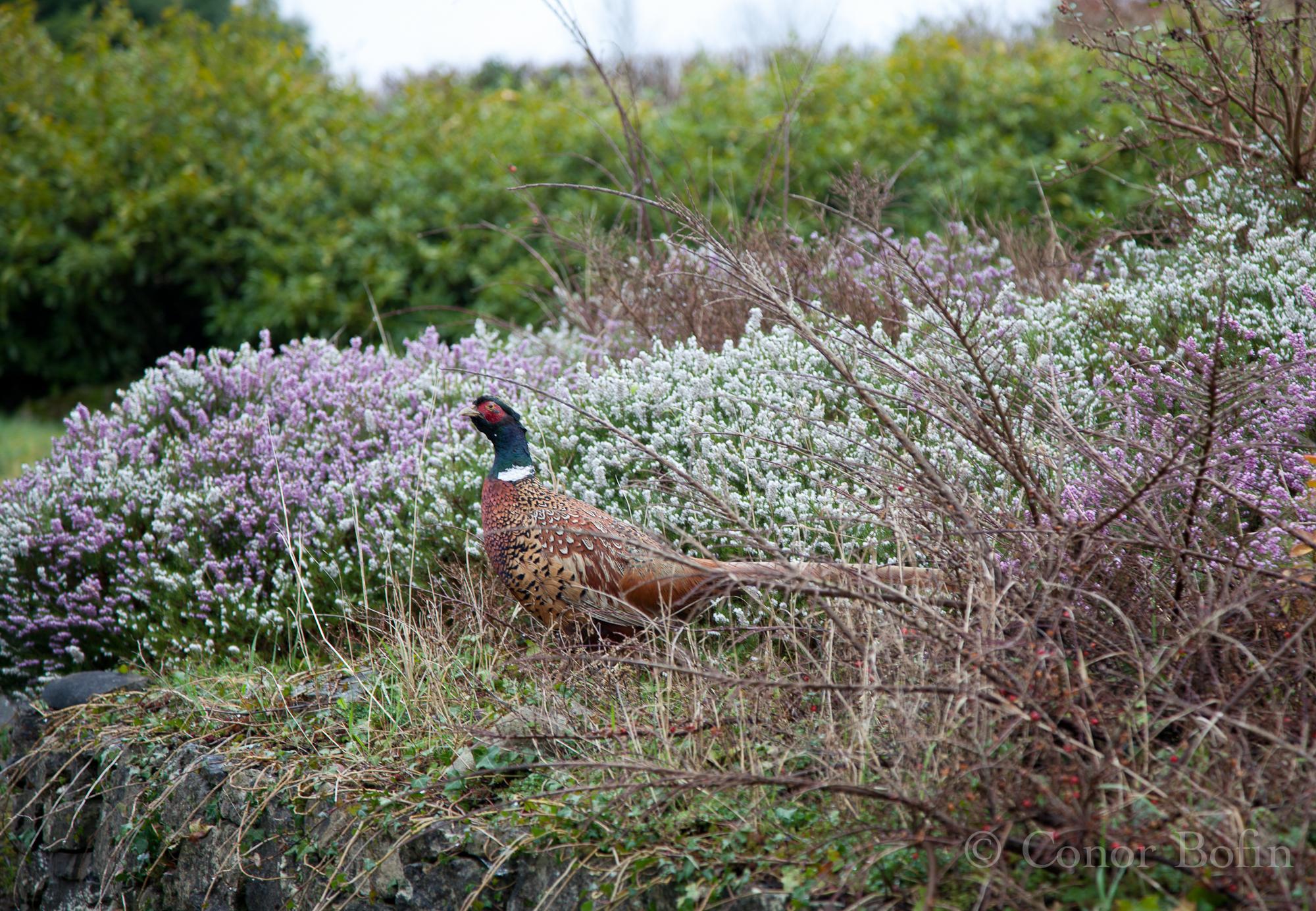 Wild Pheasants Ireland Pheasant-in-the-wild.jpg